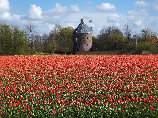 tulips-528536_640
